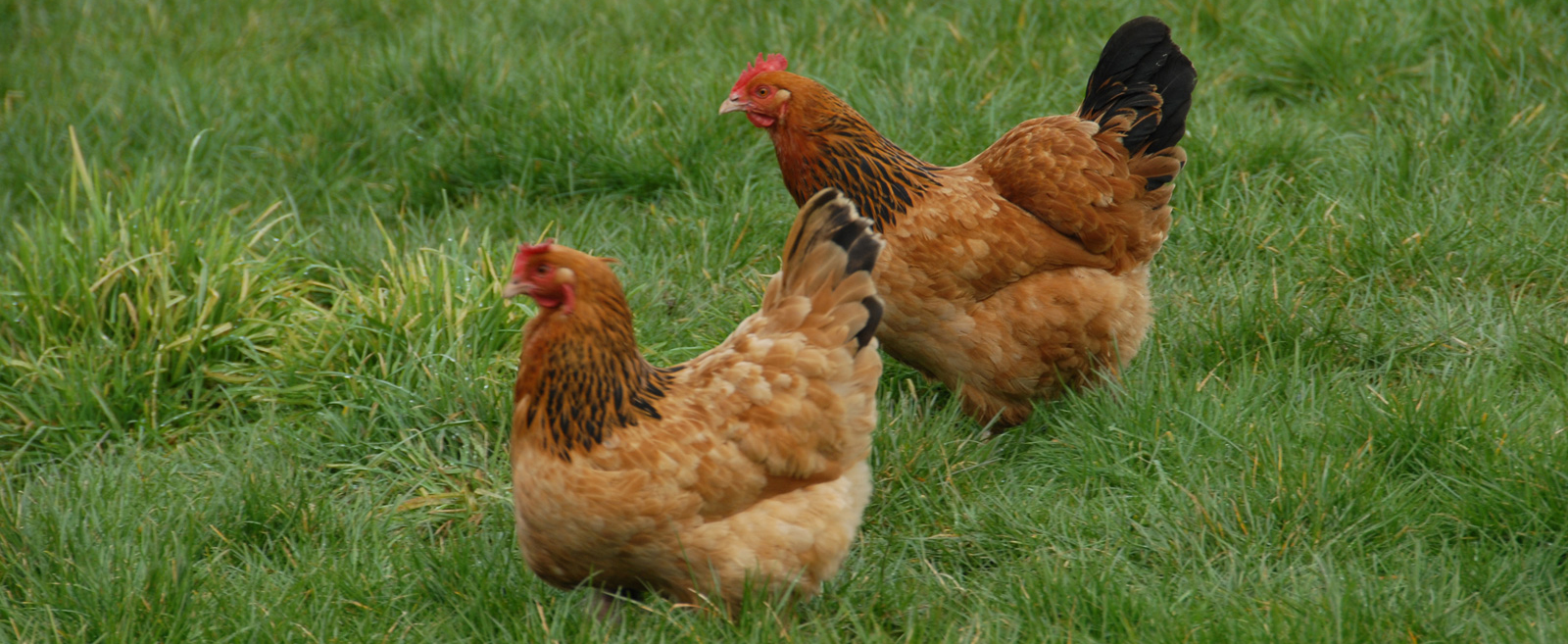 George's hens